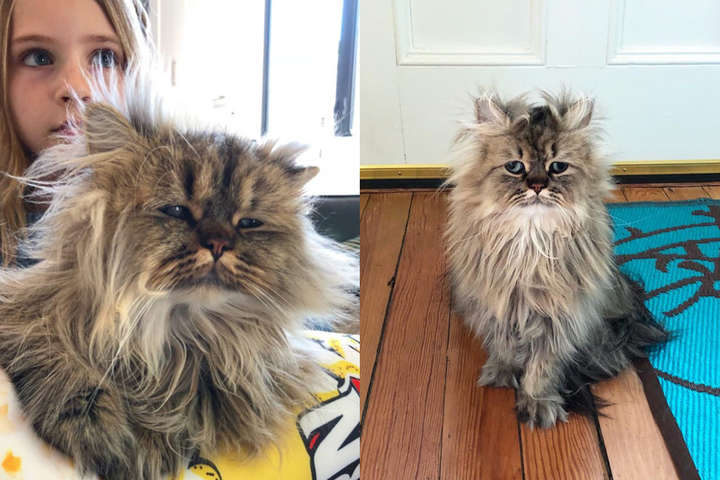Во взгляде этого персидского кота читается такая усталость, будто он знает все о жизни (фото)